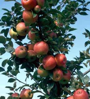 arbresfruitiers.jpg