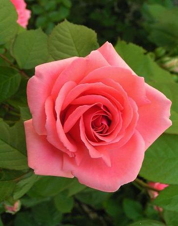 roserose1.jpg